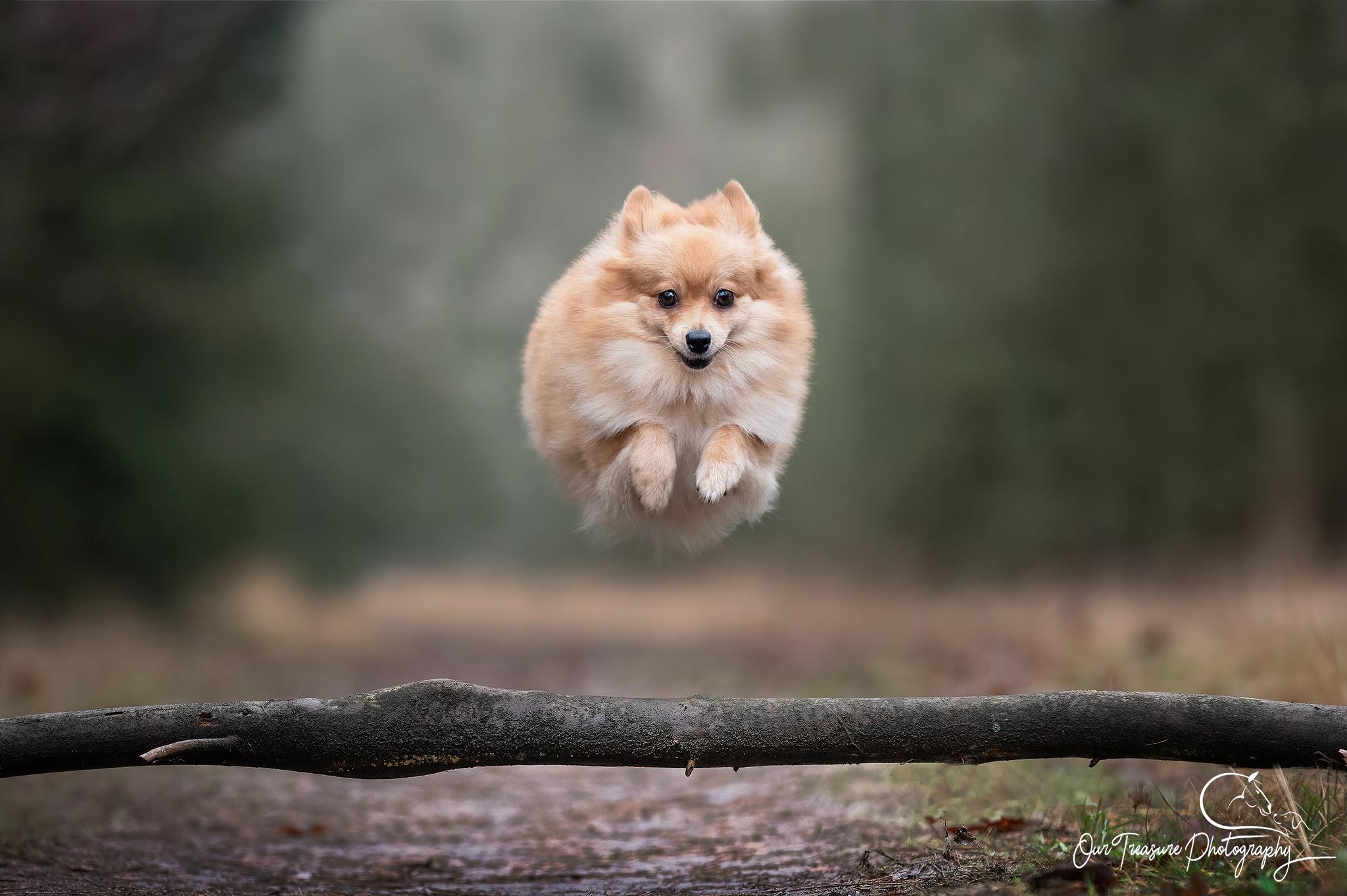 vliegende dwergkees Pawshoot hondenfotografie