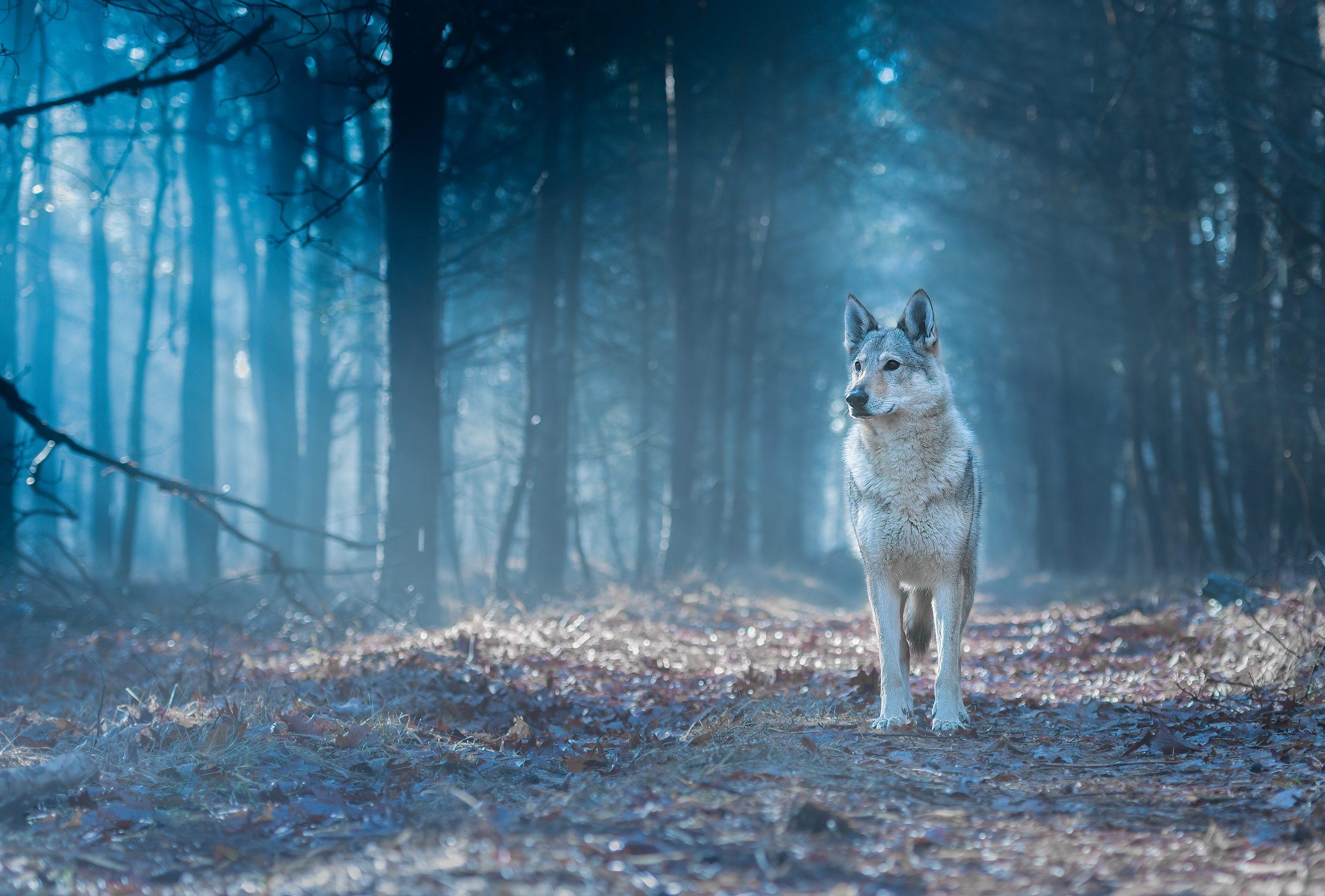 wolfhond Pawshoot hondenfotografie