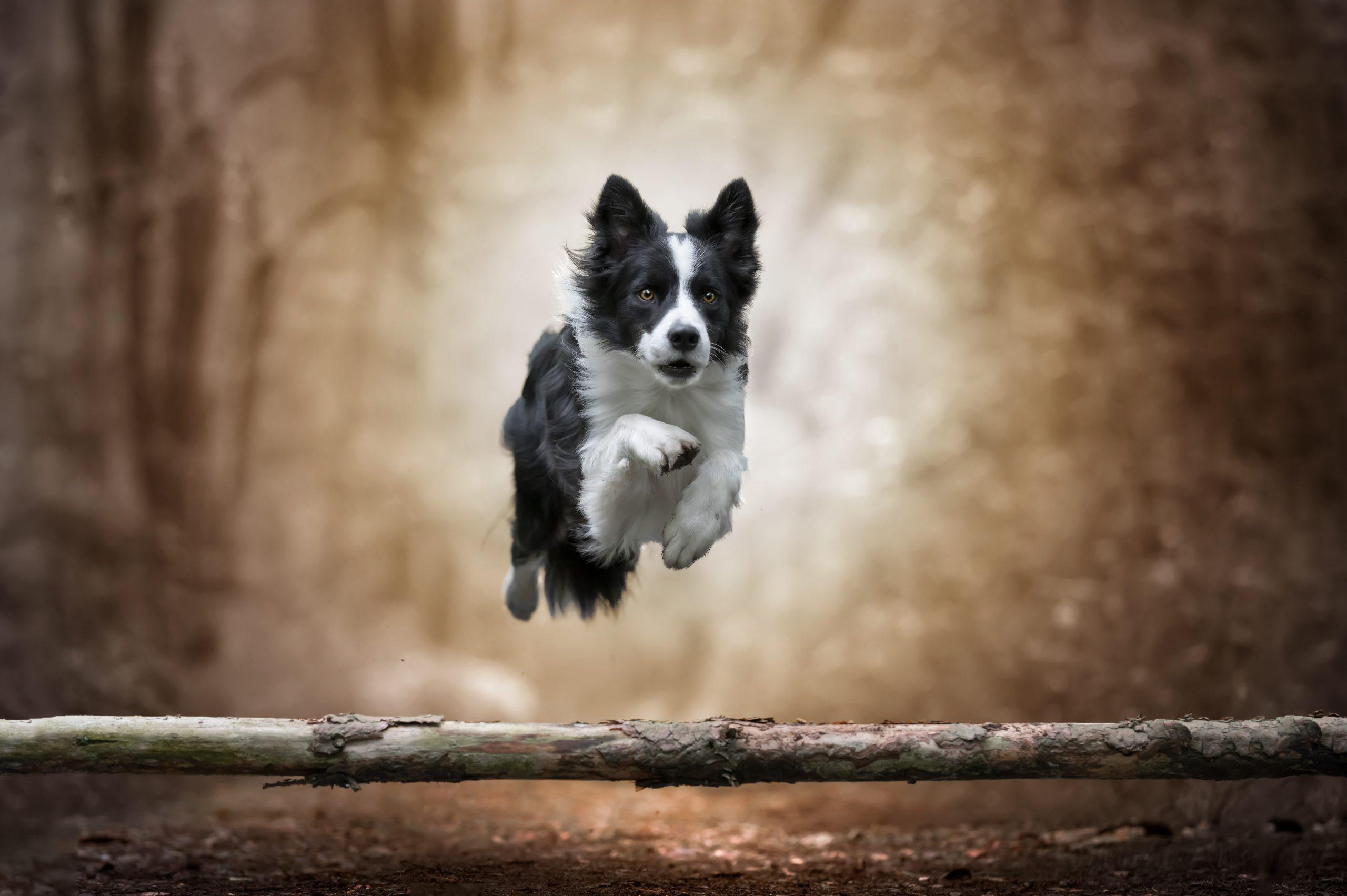 vliegende border collie Pawshoot hondenfotografie