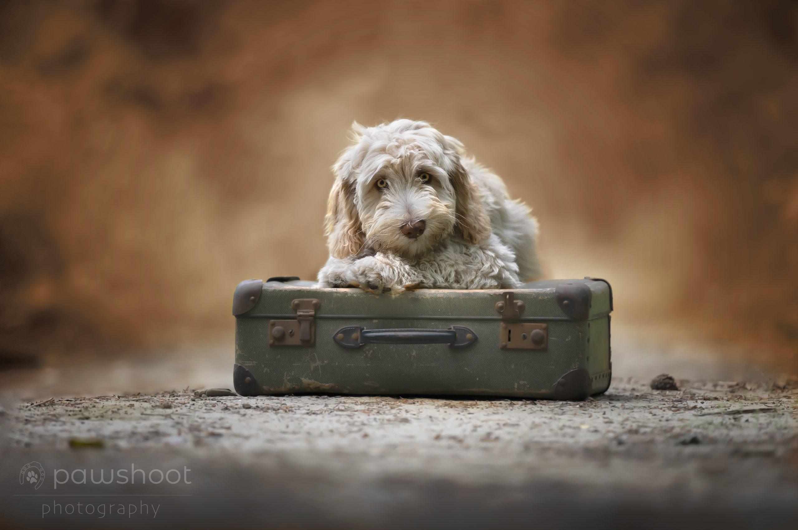 labradoodle Pawshoot hondenfotografie