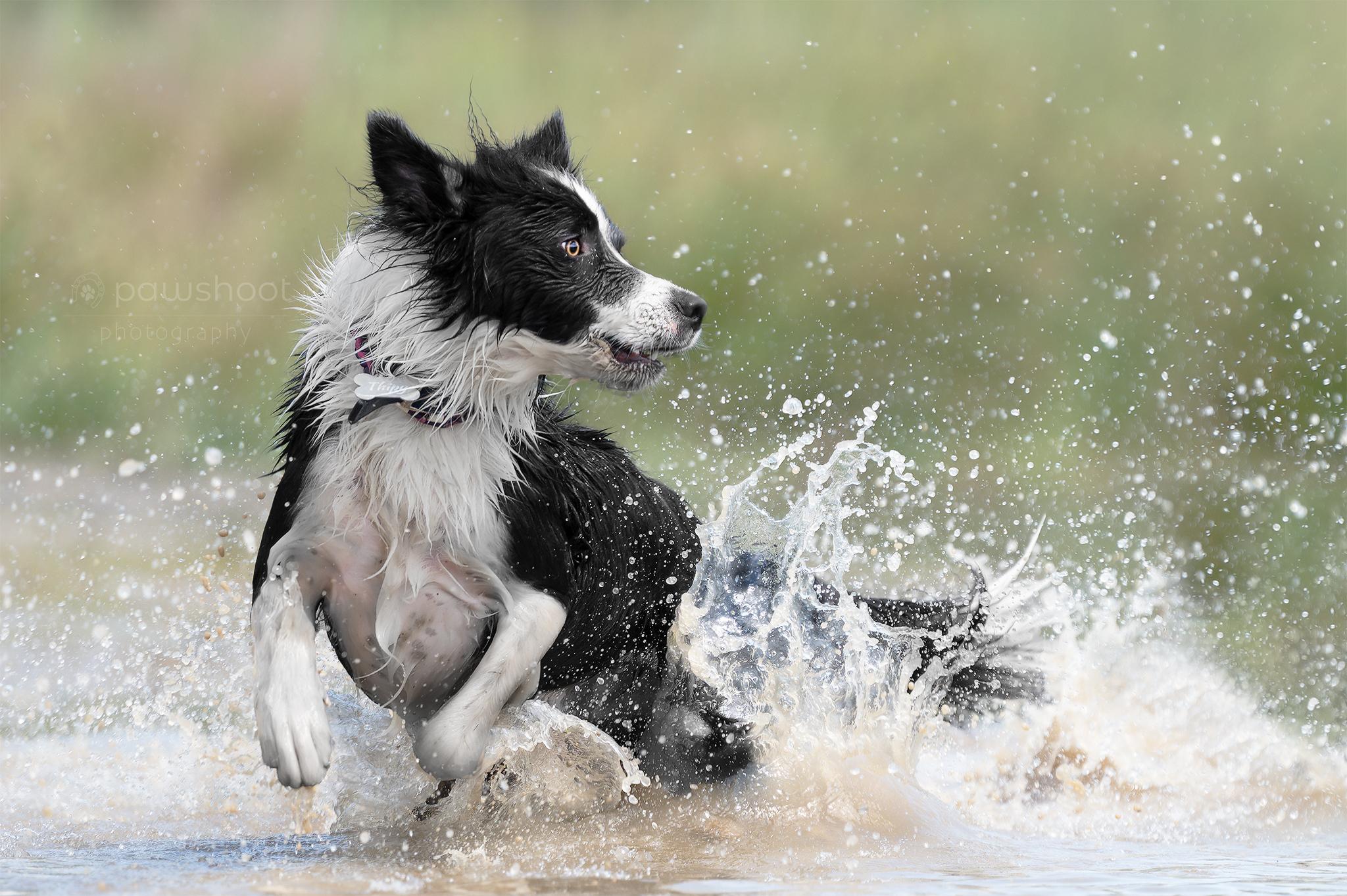 blije hond in actie Pawshoot hondenfotografie