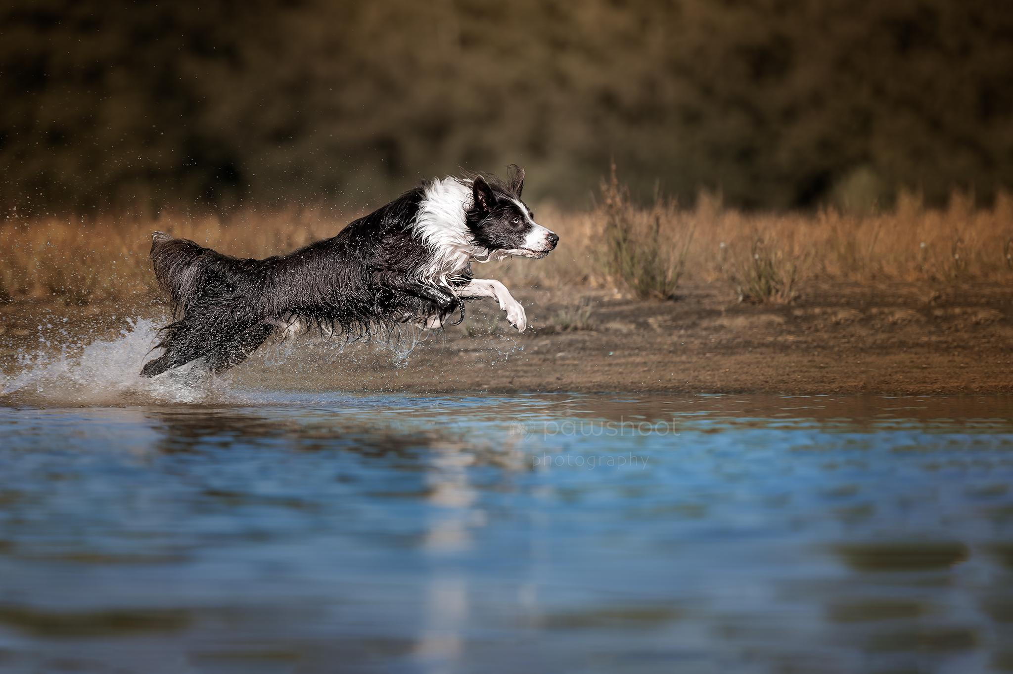 springende hond in water Pawshoot hondenfotografie