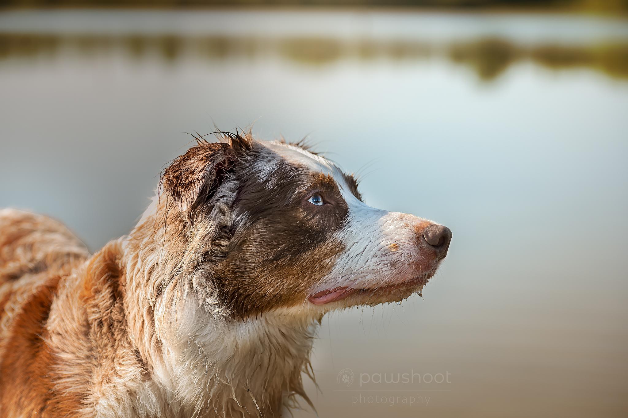 portret van een hond Pawshoot hondenfotografie