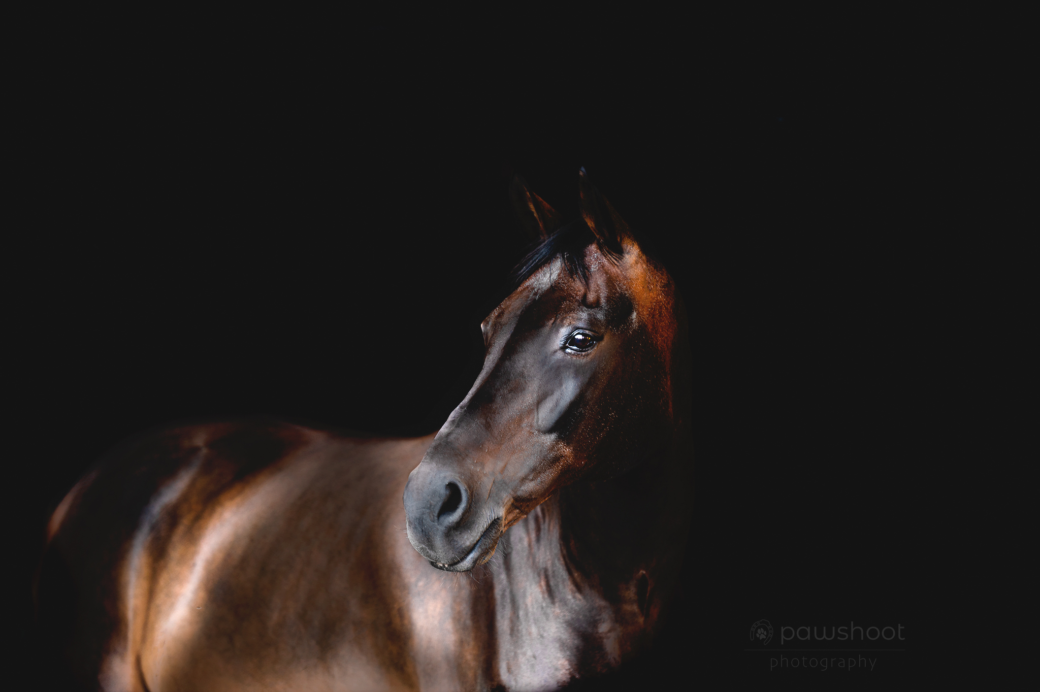 Matte black shoot paard Pawshoot hondenfotografie