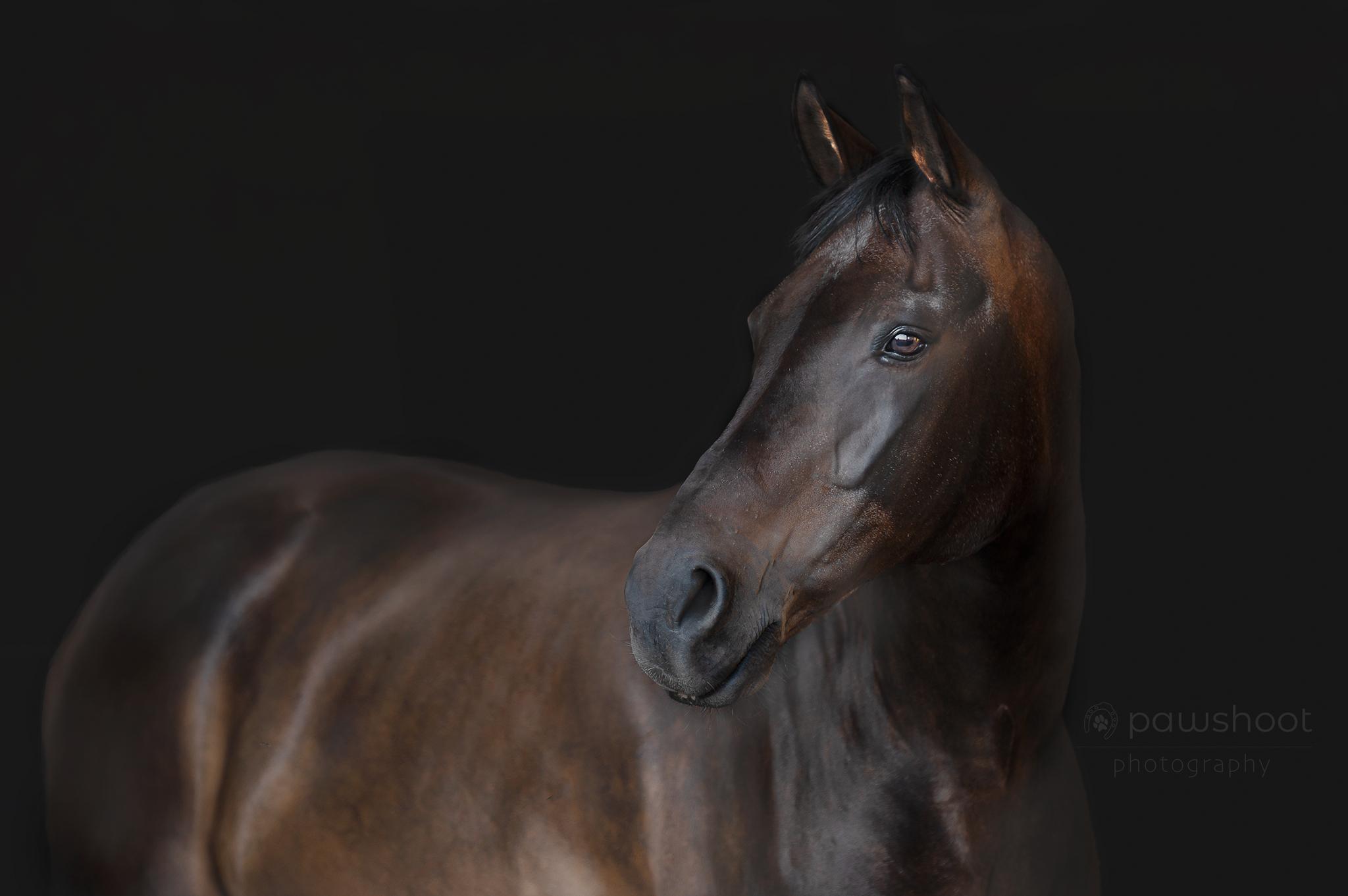Paard blackshoot portfolio Pawshoot hondenfotografie