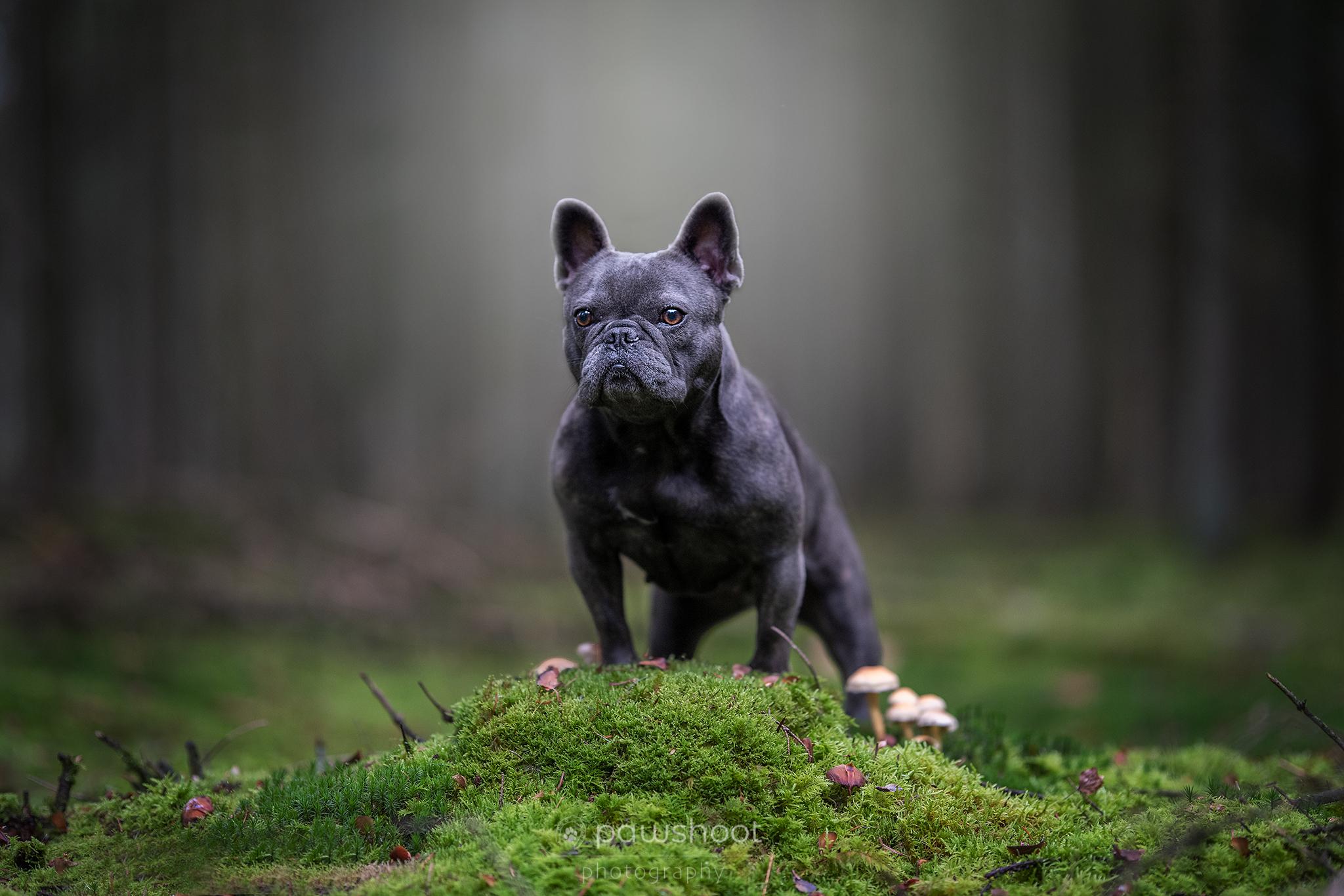 Franse buldog poseert Pawshoot hondenfotografie