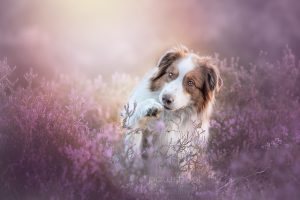 hond in heide Pawshoot hondenfotografie