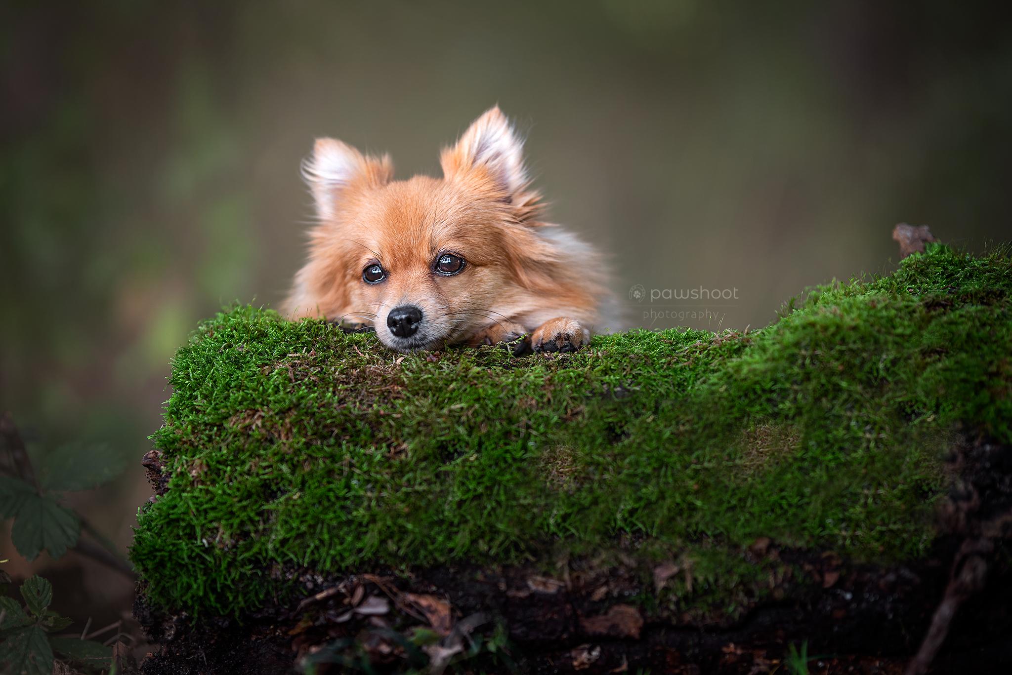 dwergkees op mos Pawshoot hondenfotografie