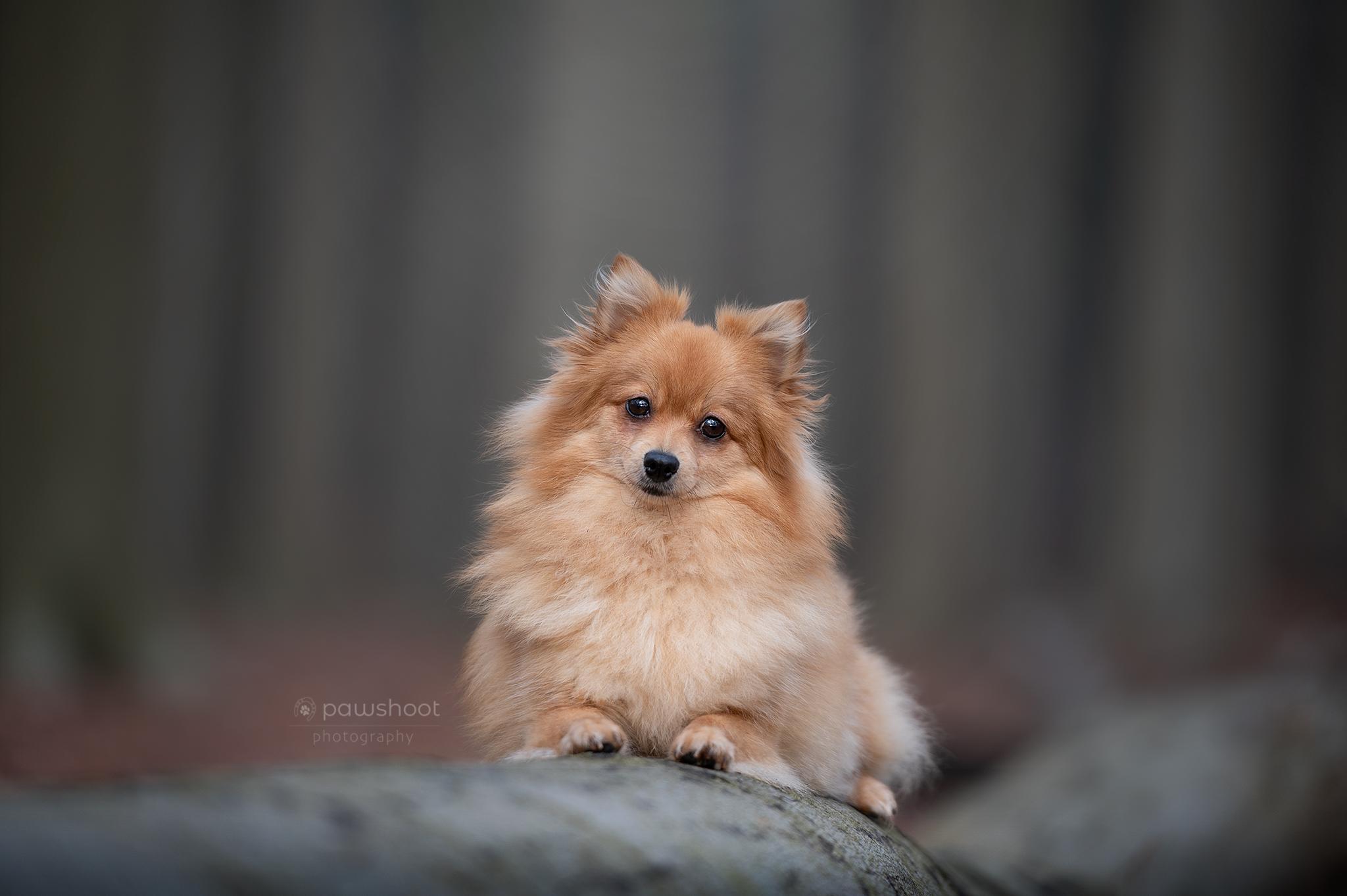 dwergkees als supermodel Pawshoot hondenfotografie