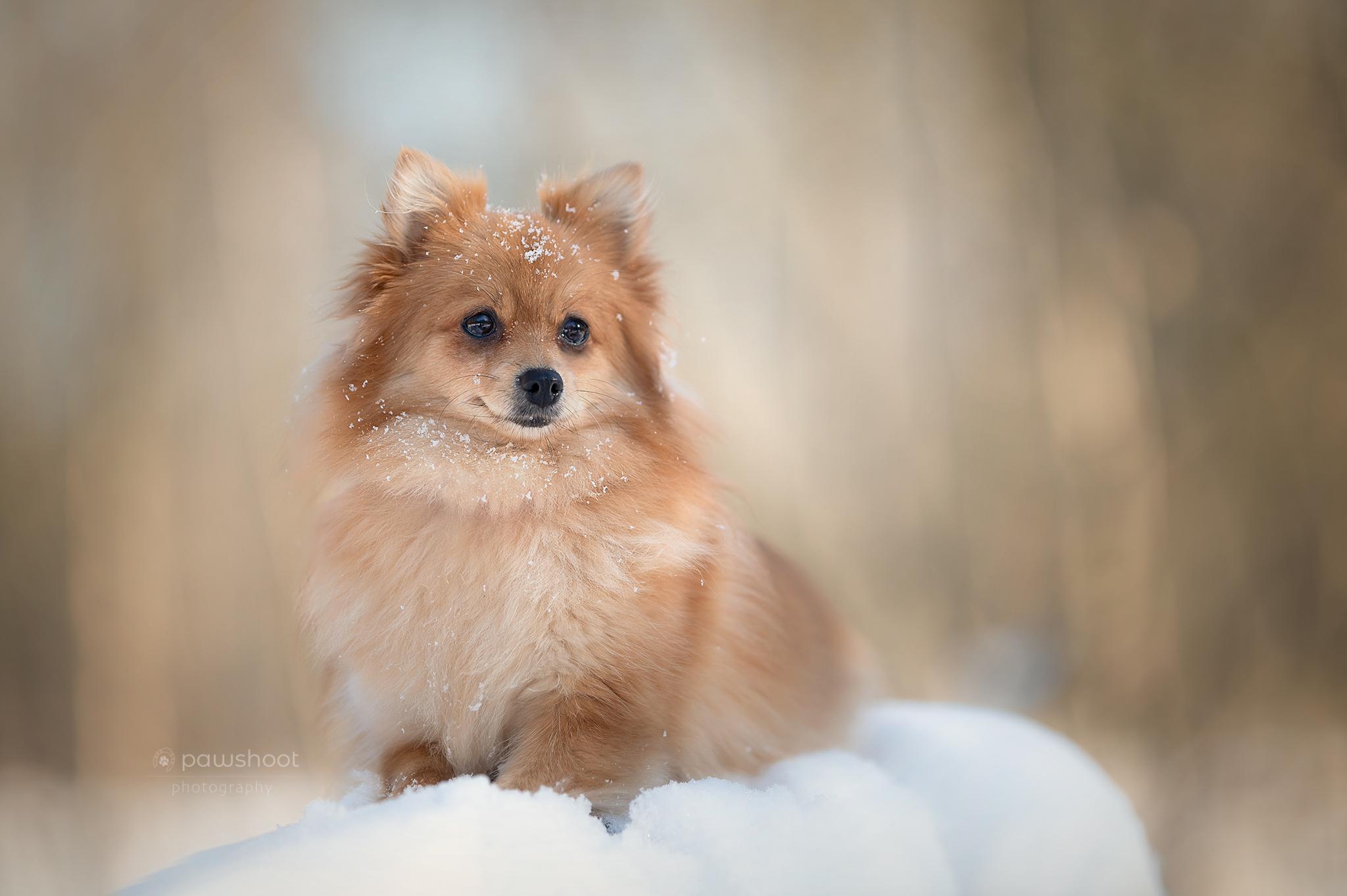 dwergkees in sneeuw Pawshoot hondenfotografie