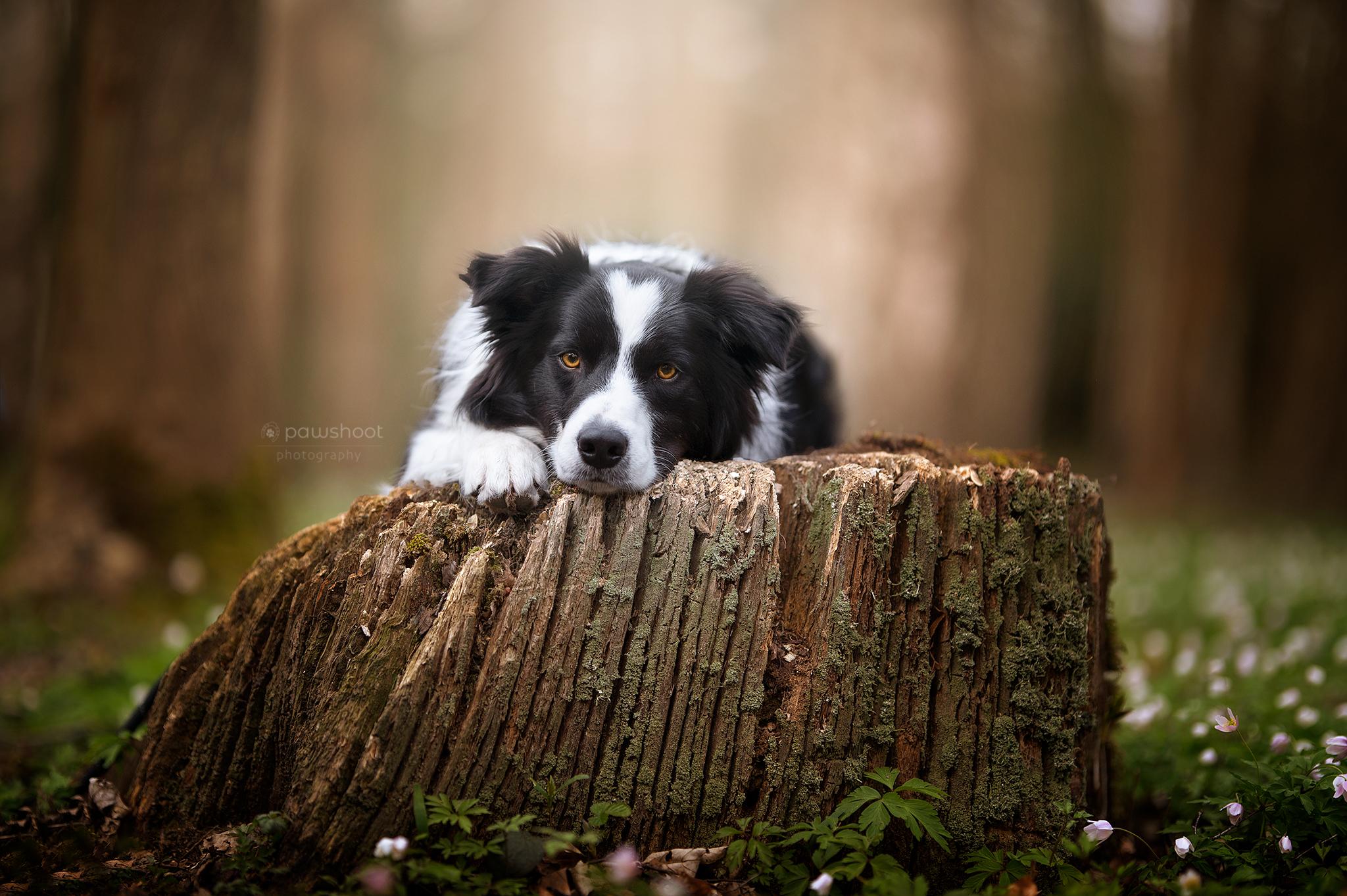 hond poseren border collie Pawshoot hondenfotografie