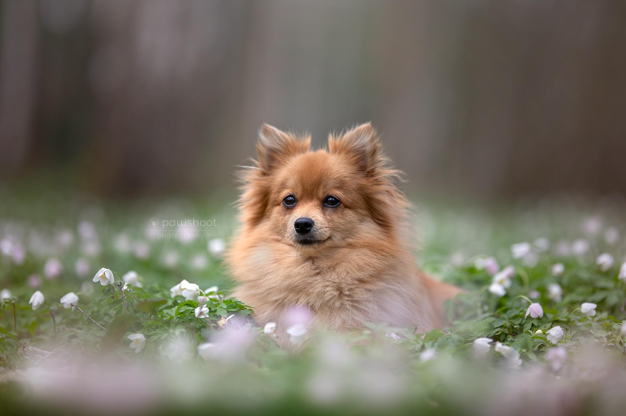 hondje dwergkees in bloemenveld Pawshoot hondenfotografie