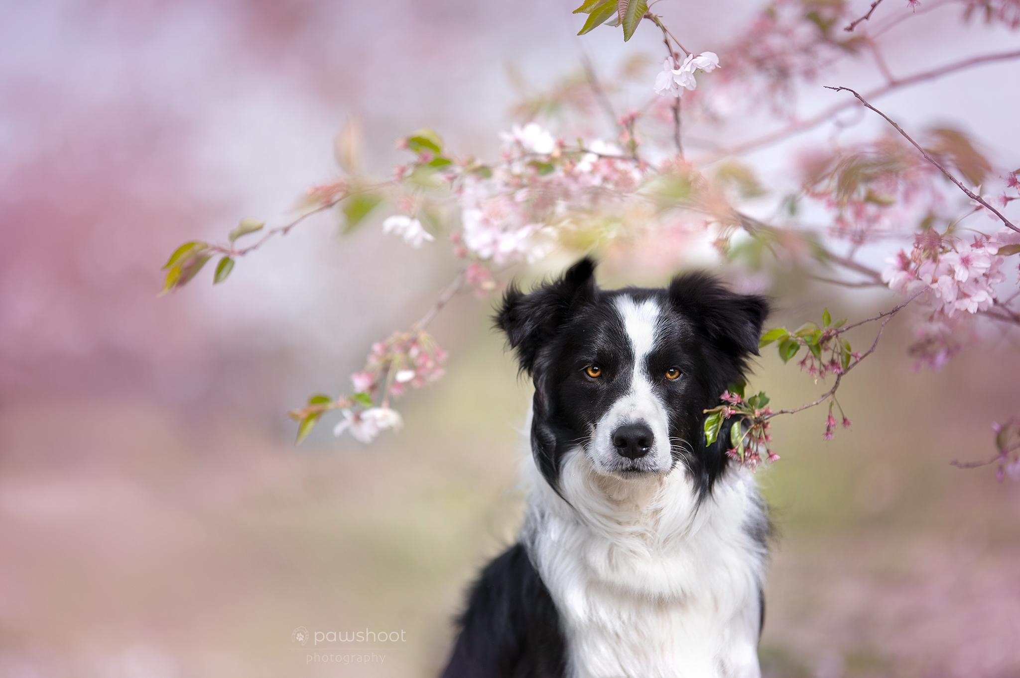 hond in bloesem Pawshoot hondenfotografie