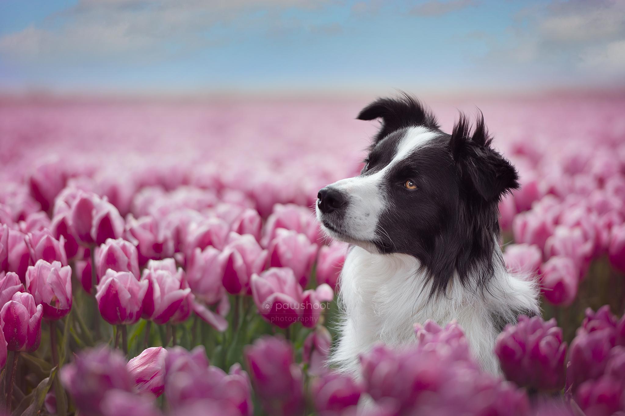 hond in tulpenveld Pawshoot hondenfotografie